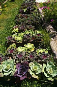 Decorative Cabbages Growing in a Garden
