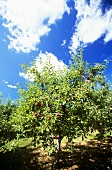 Cortland Apple Tree Against a Blue Sky with Clouds