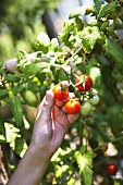 A hand picking a tomato