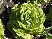 A young lettuce in a vegetable patch
