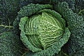 Savoy cabbage in a vegetable patch, seen from above (close-up)