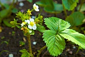 Strawberry plants with flowers
