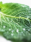 A freshly washed savoy cabbage leaf (close-up)