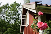 Roses in front of a wooden house in Scandinavia