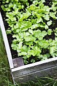 Fresh parsley in a flower bed