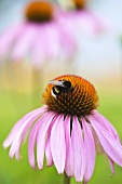 A bumblebee on an echinacea purpurea flower (close-up)