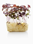 Red shiso (sprouts)