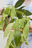 Hands holding a sprig of bay leaves