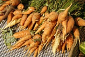 Organic Carrots at Farmer's Market