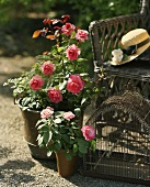 Roses in a plant pot with bird house and sun hat