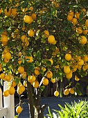 Backyard Lemon Tree