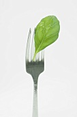 Basil leaf with a water drop on a fork