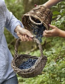 Hands shaking blueberries in a basket