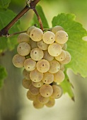 Green grapes hanging on a vine (close-up)