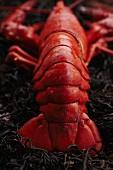 Whole Steamed Lobster on Seaweed