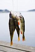 Frisch gefangene Flussbarsche