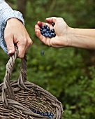 Blueberries being picked and collected in a basket
