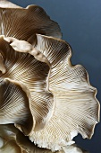 Brown Oyster Mushroom; Close Up