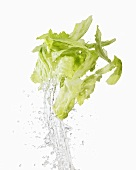 Iceberg lettuce being washed