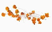 Marigolds making a splash