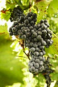 Chambourcin Grapes on Vine; Frown in Missouri