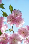 Kwanzan Flowering Cherry Tree; Close Up; Blue Sky