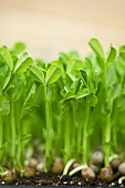 Sunflower Sprouts; Close Up
