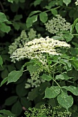 Elderflowers on the bush