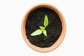 A seedling in a pot