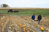Farmers carrying pumpkins through a field
