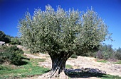 An old olive tree, Pont du Gard, Remoulins, France