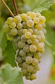 White wine grapes on the vine