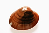 Smooth Venus  clam