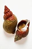 Fresh sea snails