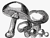 Mushrooms (Illustration)