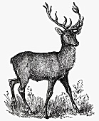 Stag (Illustration)