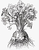 Celeriac (Illustration)