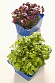 Green and red daikon cress in plastic punnets