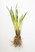 Chives with roots