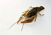 Live freshwater crayfish