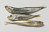 Small sandsmelts and anchovy