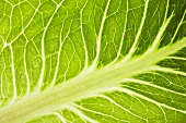 Savoy cabbage leaf (detail)