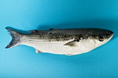 Grey mullet on blue background