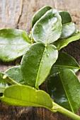 Fresh lemon leaves