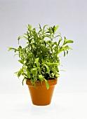 Tarragon in flowerpot