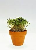 Cress in flowerpot