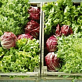 Lettuces in two crates