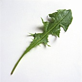 Fresh Dandelion Leaf