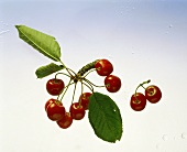 A few cherries on a piece of branch & a pair of cherries