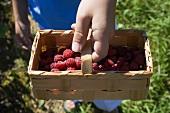 Hand holding woodchip basket of fresh raspberries